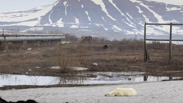 beruang kutub liar terlihat di kota industri Norilsk, Rusia