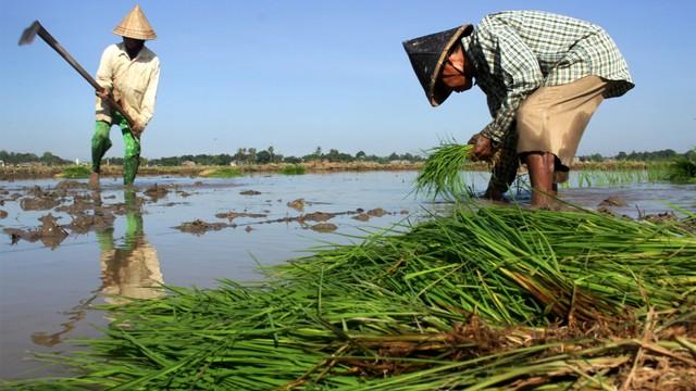 Buruh tani menanam padi