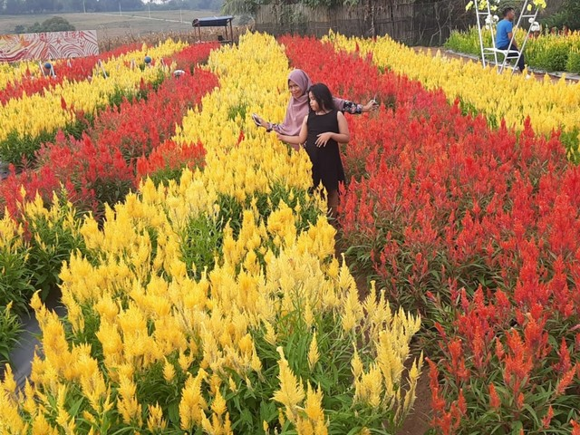 Kebun Bunga Celosia Metro Selfie Cantik Di Tengah Hamparan Bunga Kumparan Com