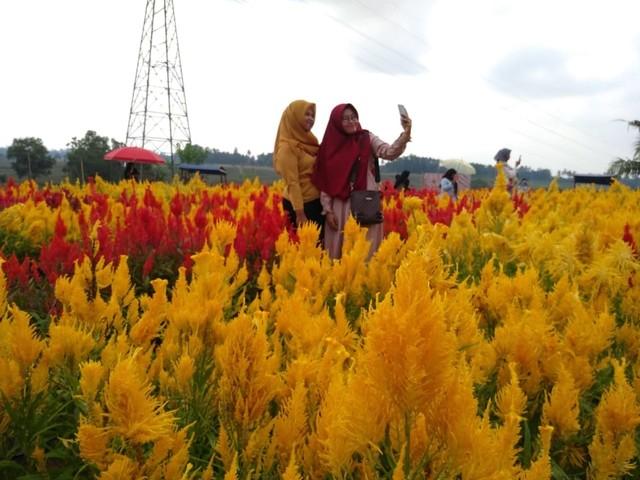 Kebun Bunga Celosia Lampung