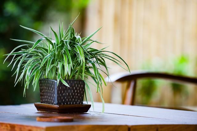 Ilustrasi tanaman Spider Plant