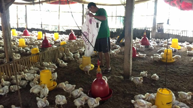 Peternak Desak Kemendag untuk Cari Solusi Anjloknya Harga Ayam (252519)