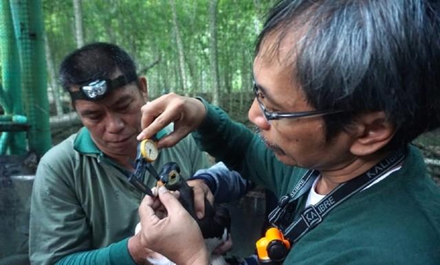 Peneliti Lepaskan Burung Maleo Bercincin untuk Kenali Kawasan Jelajah (10016)