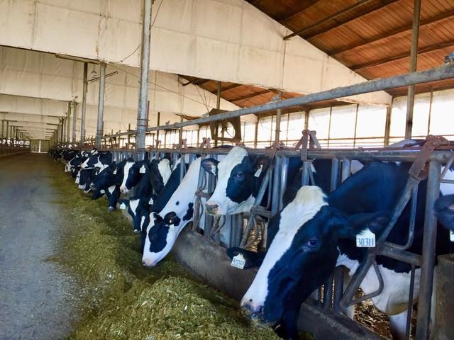 Mengintip Proses Pengolahan Susu Murni Jadi Susu Pasteurisasi (1)