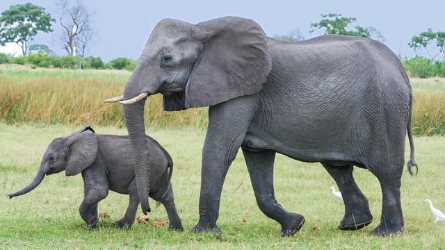 LAJ dan Komitmen Melindungi Populasi Gajah (80553)