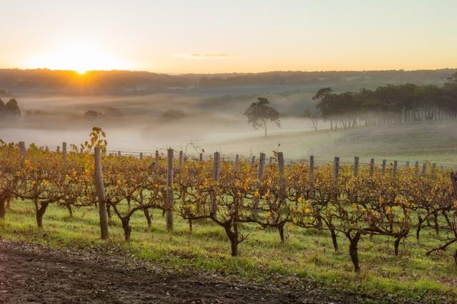Kebun Anggur di Margaret River, Australia Barat