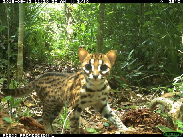 com-Kucing Kuwuk (Prionailurus bengalensis), merupakan salah satu dari empat spesies kucing liar yang tertangkap oleh kamera jebak pada tahun 2018. Diketahui bahwa tiga dari lima jenis kucing liar sudah teramati di Semenanjung Kampar.