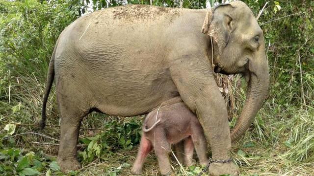 Bayi gajah di Convervation Respon Unit (CRU) Alue Kuyun, Aceh Barat, Rabu (24/7)
