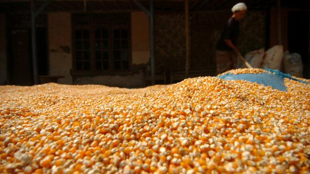Peternak Minta Pemerintah Impor Jagung untuk Tekan Harga Pakan Ternak (1)