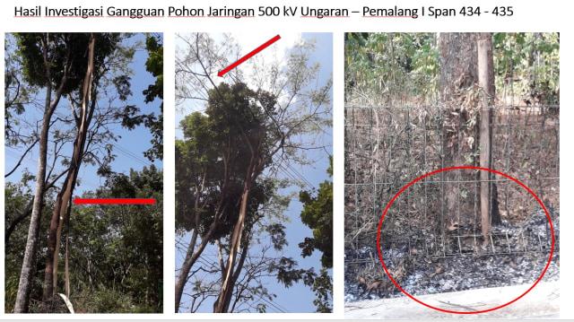 Pohon Sengon diduga sebabkan mati listrik massal