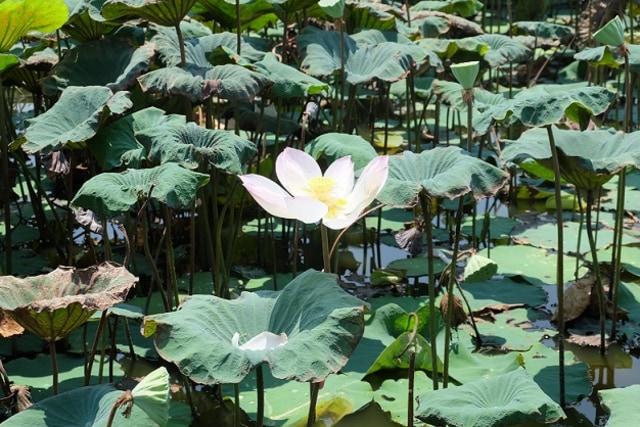 Sensasi Mencicipi Bunga Teratai, Camilan Khas Masyarakat Kamboja (306132)