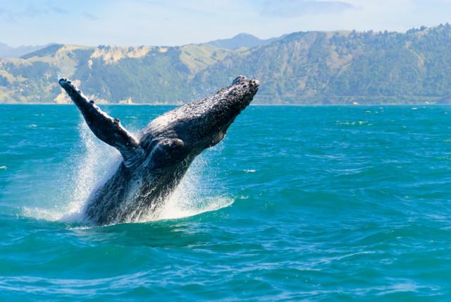 Ikan paus humpback sedang bermigrasi di Kaikōura, Selandia Baru