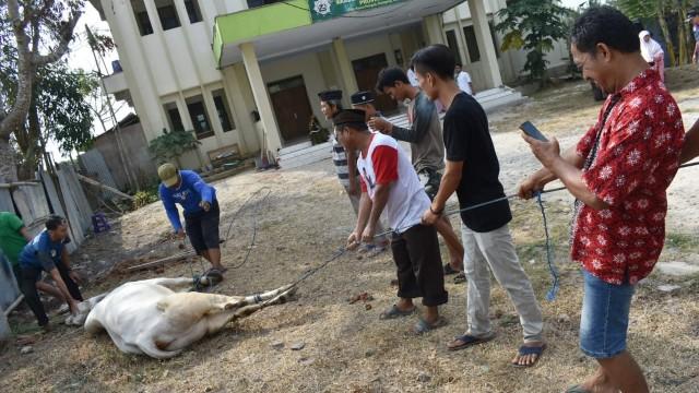 Drama Sapi di Idul Adha: Seruduk Jemaah Salat Id hingga Sepak Jagal (10786)