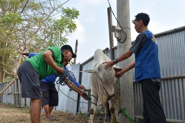 Drama Sapi di Idul Adha: Seruduk Jemaah Salat Id hingga Sepak Jagal (10782)