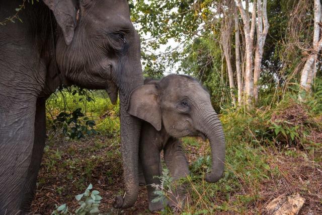 Gajah Sumatra, Gajah Sumatera, Taman Nasional Tesso Nilo (NOT COVER)