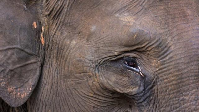 Gajah Sumatera Mati dengan Kepala Terpenggal dan Gading Hilang (115285)