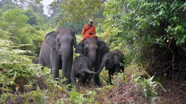 Gajah Sumatra, Gajah Sumatera, Taman Nasional Tesso Nilo, Kebakaran Hutan dan Lahan, Kebakaran Gambut