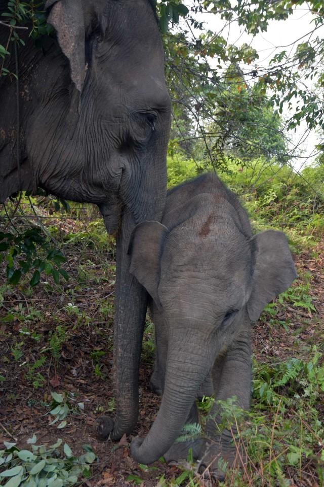 Gajah Sumatra, Gajah Sumatera, Taman Nasional Tesso Nilo, Kebakaran Hutan dan Lahan, Kebakaran Gambut (NOT COVER)