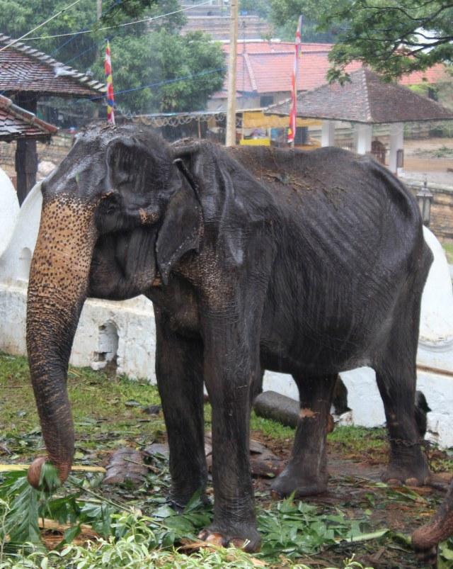 Tikiri, Gajah kurus di Sri Lanka (NOT COVER)