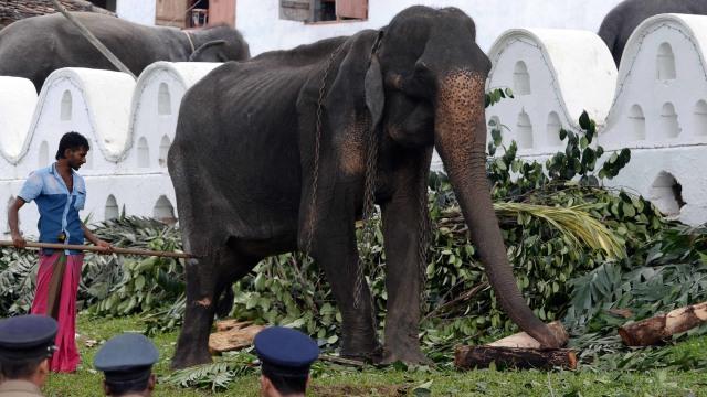Tikiri, Gajah kurus di Sri Lanka