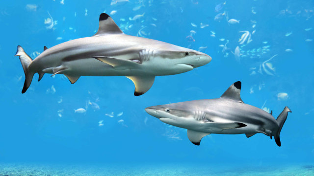 Hiu blacktip