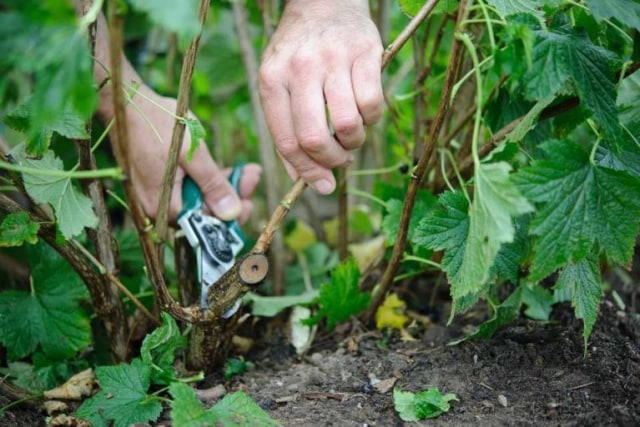 metode setek batang tanaman dengan gunting tanaman