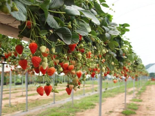 setek akar buah stroberi