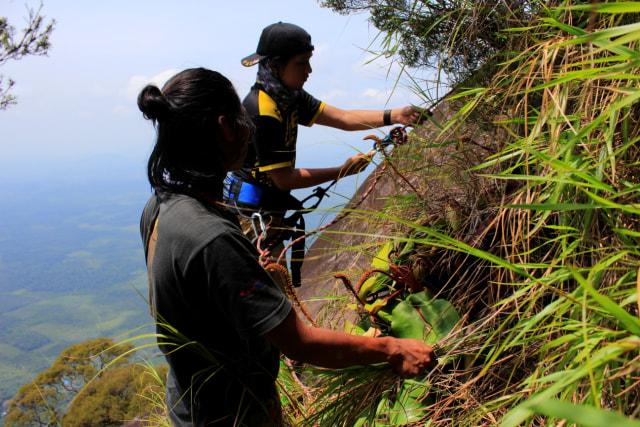 Populasi Kantong Semar Langka di Gunung Kelam Kritis karena Diburu (244111)