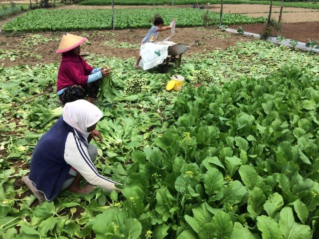 Pemerintah Tegaskan Sayuran di Ambon Bebas Bakteri (233982)