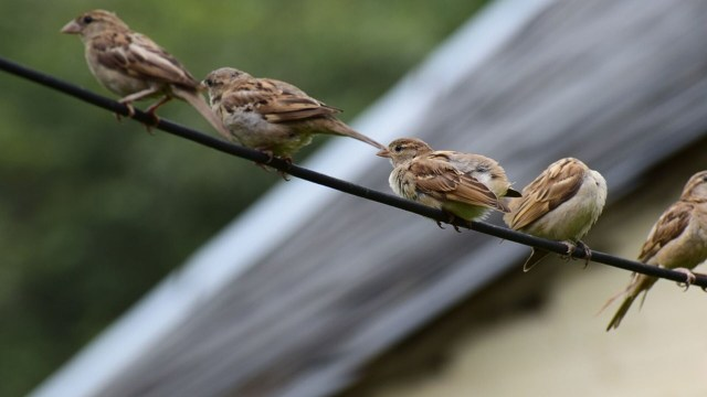 Peneliti LIPI soal Rencana Basmi Burung Emprit di Sleman: Bakal Ganggu Ekosistem (218417)
