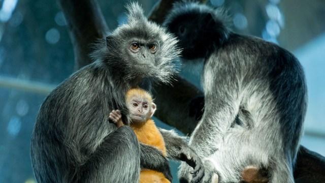 Monyet Langka Terancam Punah Berhasil Melahirkan di Kebun Binatang (66419)