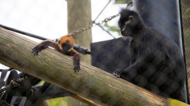 Monyet Langka Terancam Punah Berhasil Melahirkan di Kebun Binatang (66421)
