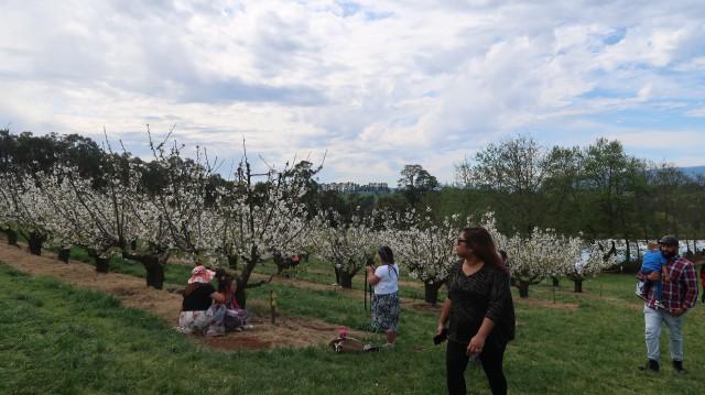 Piknik di Australia: Pilih ke Kebun Ceri atau Tulip? (63323)