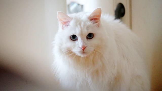 Ilustrasi kucing angora