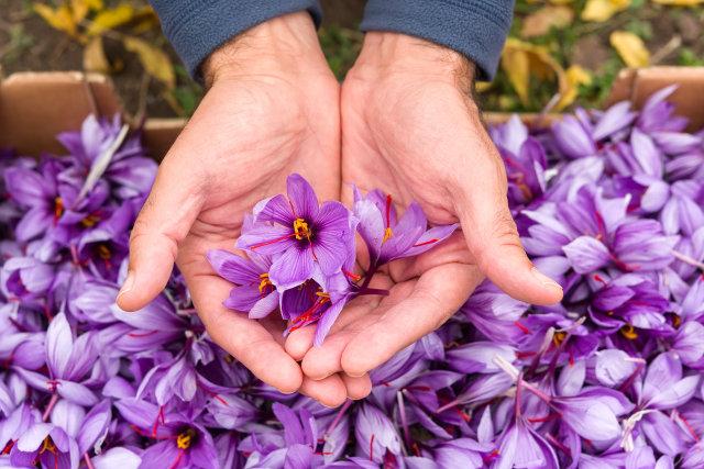 Alasan Saffron Jadi Rempah Termahal di Dunia, Harganya Capai Rp 600 Juta per Kg! (1246363)