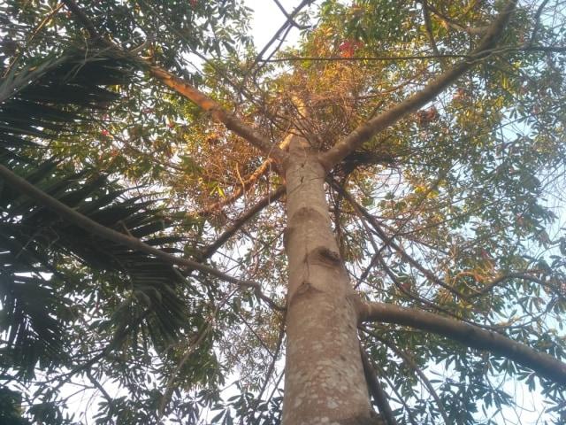 Bambang Sriyono, di Masa Pensiun Jatuh Cinta dengan Pohon  (182063)