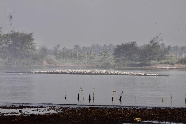 Cinta Mahasiswa untuk Burung Migran di Muara Kali Progo, Yogyakarta (615693)
