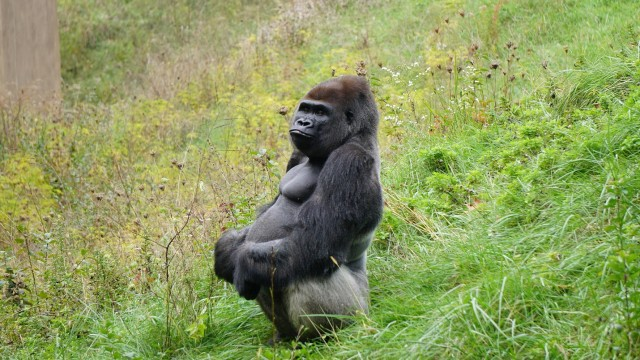 Pertama Kalinya, Kawanan Gorila di Kebun Binatang Terinfeksi Corona (74739)