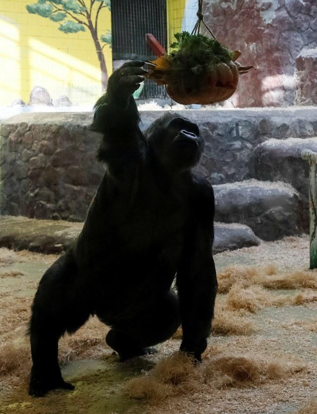 PTR, Perayaan Halloween di kebun binatang di Kiev, Ukraina, Gorila