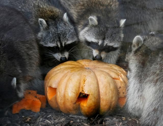 Perayaan Halloween di kebun binatang di Kiev, Ukraina, rakun
