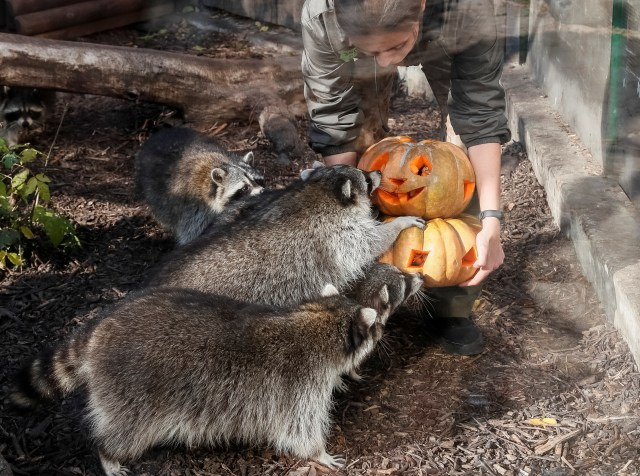 Perayaan Halloween di kebun binatang di Kiev, Ukraina, Gajah
