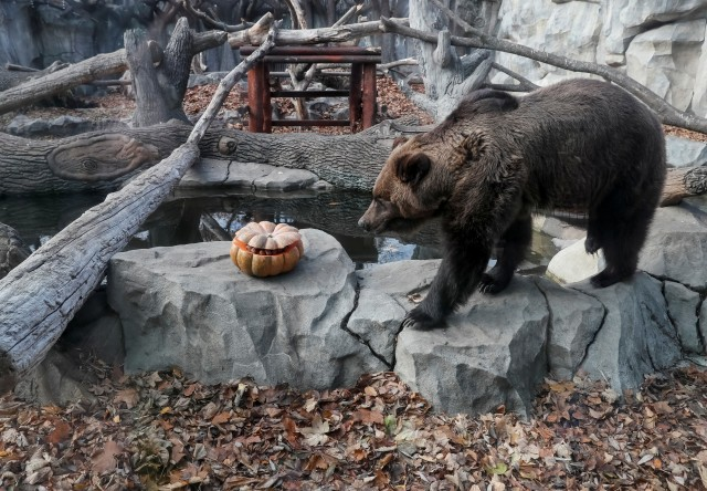 Perayaan Halloween di kebun binatang di Kiev, Ukraina, beruang
