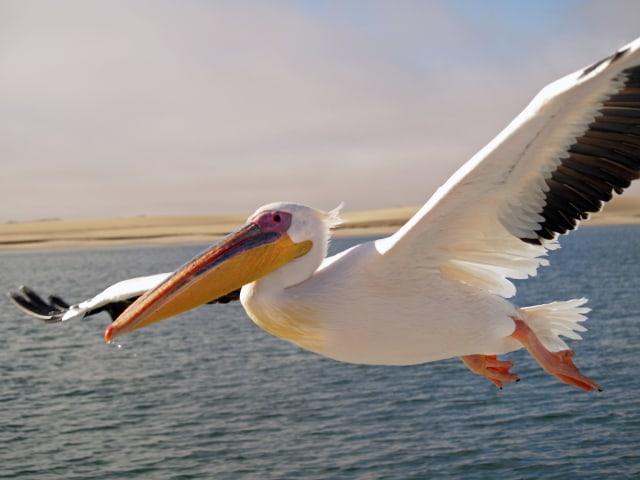 Pelikan_Walvis_Bay.jpg