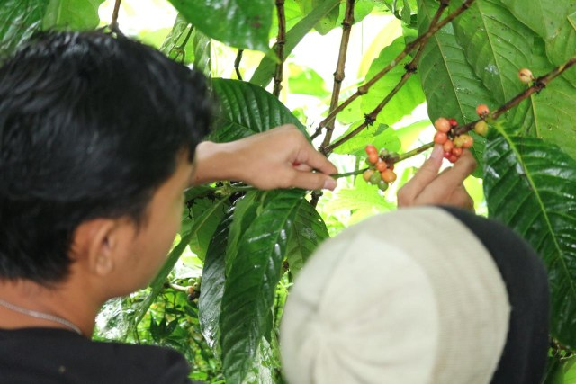 Bupati Kepulauan Yapen Genjot Produksi Kopi Robusta Ambaidiru (44)