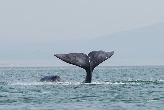 A_bowhead_whale_is_tail-slapping_in_the_coastal_waters_of_western_Sea_of_Okhotsk_by_Olga_Shpak,_Marine_Mammal_Council,_IEE_RAS.jpg