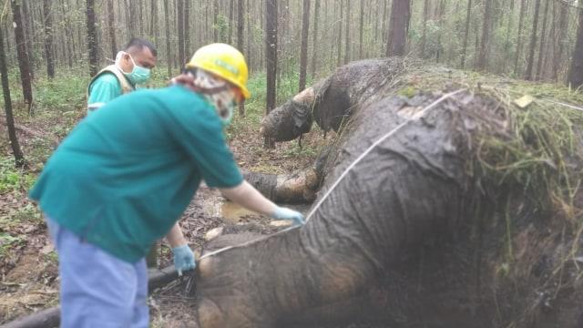 Dalam 35 Hari, 2 Gajah Sumatera Mati di Hutan Tanaman Industri Riau (71385)
