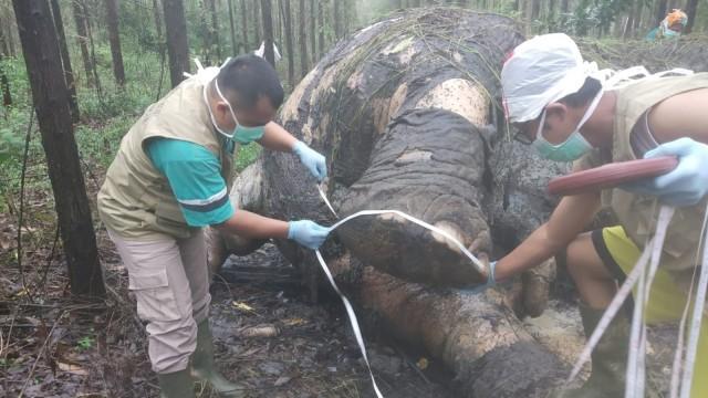 Dalam 35 Hari, 2 Gajah Sumatera Mati di Hutan Tanaman Industri Riau (71386)