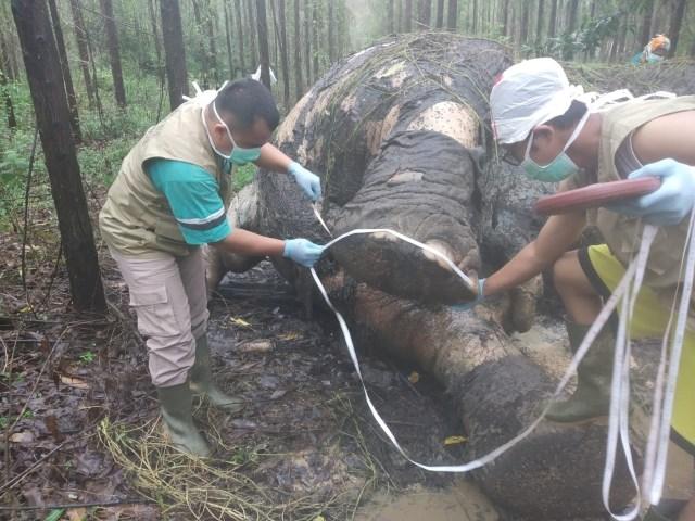 Gajah Sumatera Mati dengan Kepala Terpenggal dan Gading Hilang (115281)