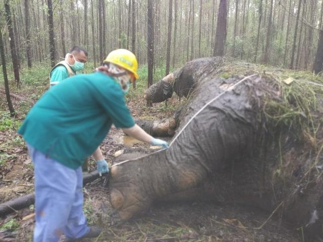 Gajah Sumatera Mati dengan Kepala Terpenggal dan Gading Hilang (115284)