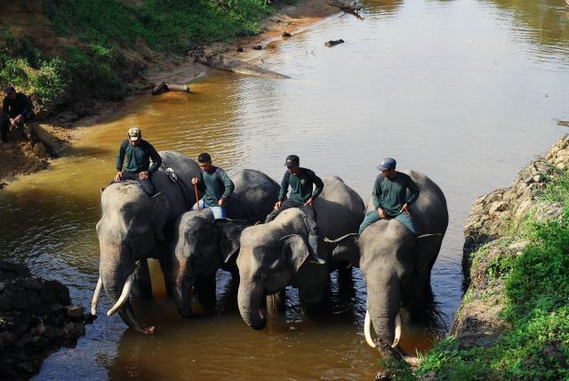 Gajah Petarung di CRU Trumon4.jpg